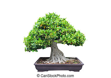 mezzo, albero, rifilare, bonsia, in, vaso, bianco, fondo.