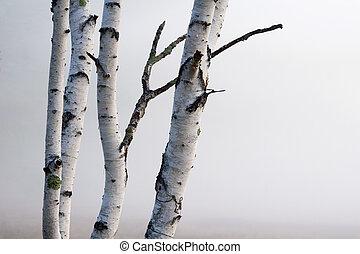 mgła, drzewa, brzoza