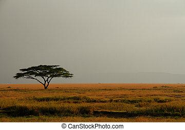 mglisty, ekspansywny, lone drzewo, przeciw, akacja, niebo