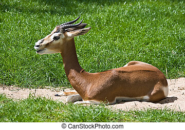 Mhorr Gazelle, Africa, extinct in the wild
