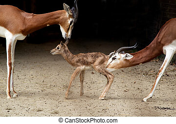 Mhorr gazelle -  Mhorr's gazelle  with new born-15 min. old