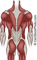 mięśnie, wstecz, ilustracja