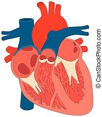 mięsień, serce, diagram, budowa, anatomia, ludzki