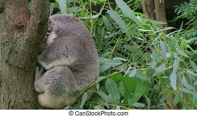 miś koali, przebudzając