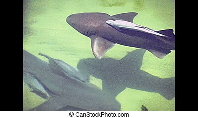 Miami Beach lemon shark - Swimming lemon shark, Negaprion...