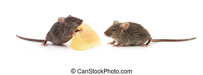 Mice and cheese isolated on a white background