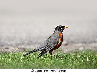 Michigan Robin - Close up shot of Robin bird in the grass