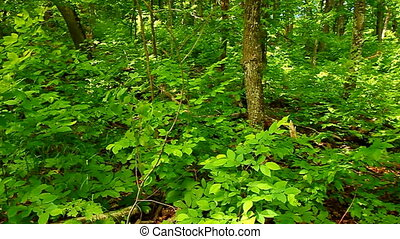Michigan Upper Peninsula Northwoods - Forest scenery in the...