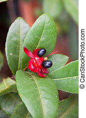 Mickey Mouse flower plant