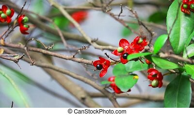 micky mouse or Ochna kirkii Oliv tree and seed