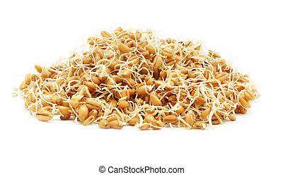 microbio trigo