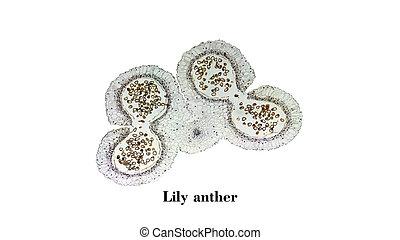 micrographe, lis, anthère
