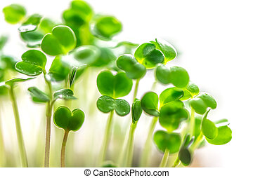 Microgreen in a container close-up. Selective focus.