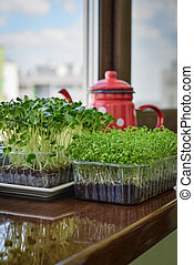 Microgreen of garden cress and daikon radish