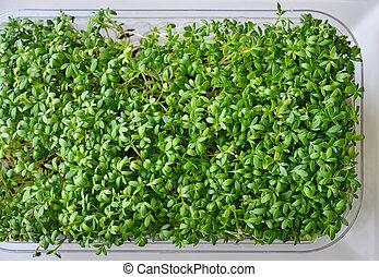 Microgreen of garden cress