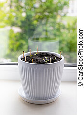 Microgreen salad sprouts in a white ceramic pot copy space. Organic food and proper nutrition