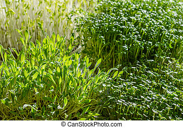 Microgreens in the sunlight, macro food photo