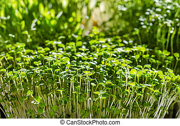 Microgreens on the windowsill in the sunlight. Sprouts of arugula in front of other sprouts. Front view of green seedlings, young plants and cotyledons. Macro food photo.