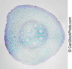 Microscopic photography. Young Root of plant, transversal...