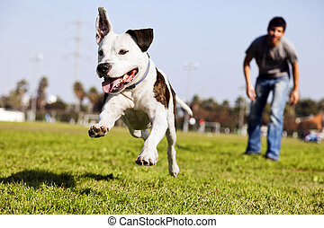 mid-air, courant, pitbull, chien