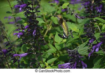 Mid Air Hummingbird - A ruby throated hummingbird...
