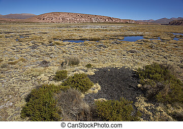 Midden on the Altiplano - Midden of droppings from Vicuna in...