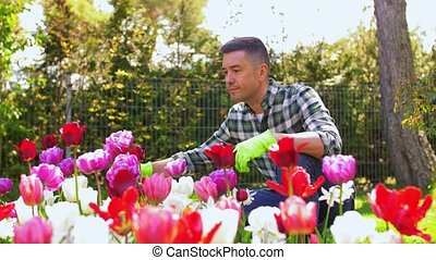 gardening and people concept - middle-aged man taking care of flowers at summer garden