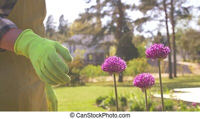 gardening and people concept - middle-aged man taking care of allium flowers at summer garden
