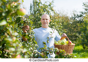 man with apple harvest in orchard