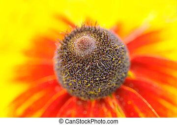 Middle of Coneflower (Rudbeckia) Macro
