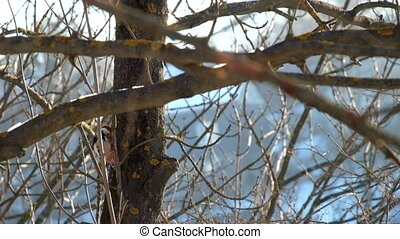 Middle spotted woodpecker in winter looking for larvae in the trunk of a tree (Dendrocoptes medius)
