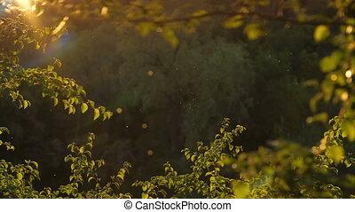Midges fly at sunset - Warm summer evening natural blurred...