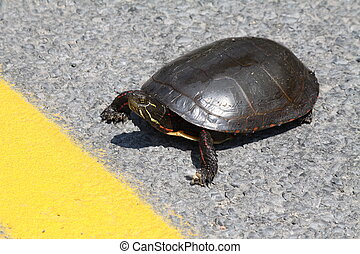 Midland Painted Turtle - Crossing a road nearing the yellow ...
