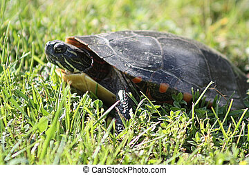 Midland Painted Turtle TU-114 - Midland Painted Turtle...