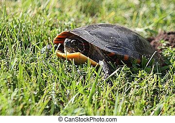 Midland Painted Turtle TU-117 - Midland Painted Turtle...