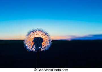 The round shape of the dandelion flower frames the setting midnight sun beautiflully.