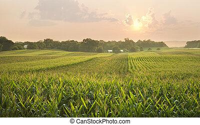 Midwestern cornfield below setting sun - A midwestern...