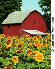 midwestern sunflower farm
