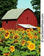 sunflower - midwestern sunflower farm