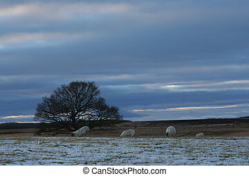 A lone bare tree and some sheep punctuate a bleak winter landscape on Kippen Muir, Scotland