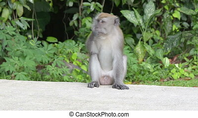 miejski, małpa