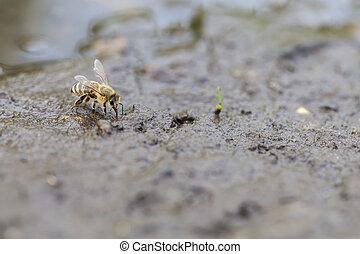 miel, eau, ramassage, -, abeille