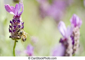 miel, lavande, abeille