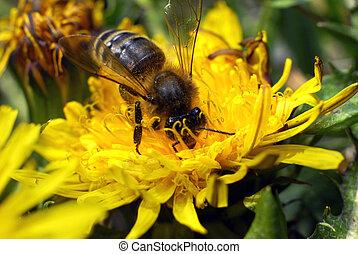miel, rassemblement, abeille