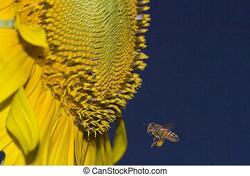 miel, rencontre, tournesol, abeille
