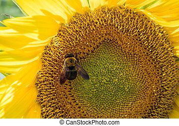 miel, tournesol, abeille