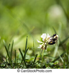 miel, trèfle, fleur blanche, abeille
