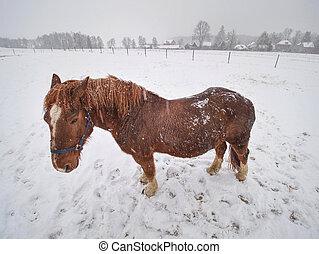 mientras, posición, nevar, caballo, campo, nieve, apacible, cubierto
