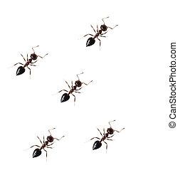 mier, witte , vrijstaand, achtergrond