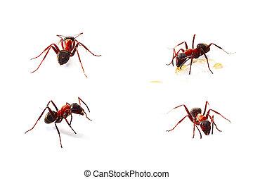 mieren, vrijstaand, witte